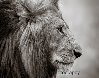 The Noble Lion