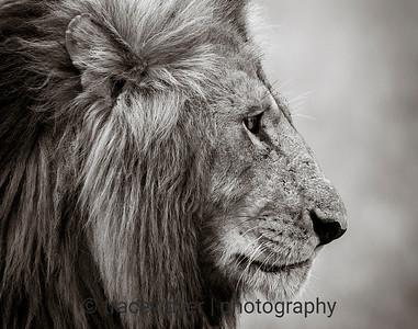 The Noble Lion