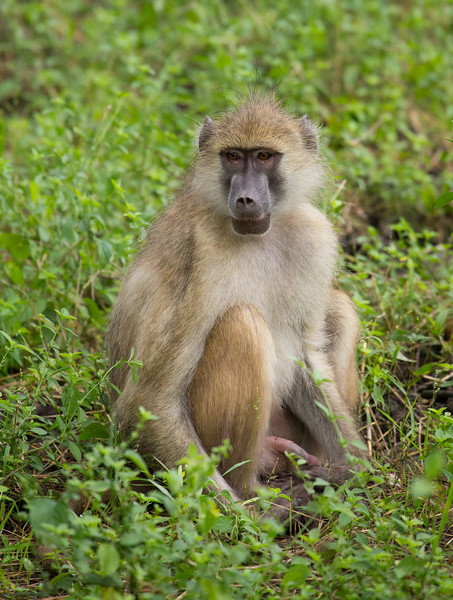 Baboon at Luangwa