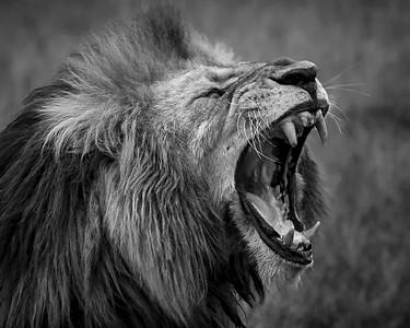 I am Lion, hear me roar