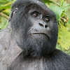 Pensive Silverback deep in thought