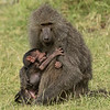 Baby Baboon nursing Mother