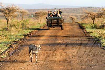 Cheetah Crossing