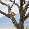 Leopard Leaping 1