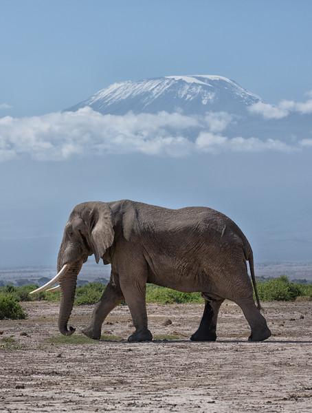 Elephant, Mt. Kilamanjaro, Amboseli NP, Kenya