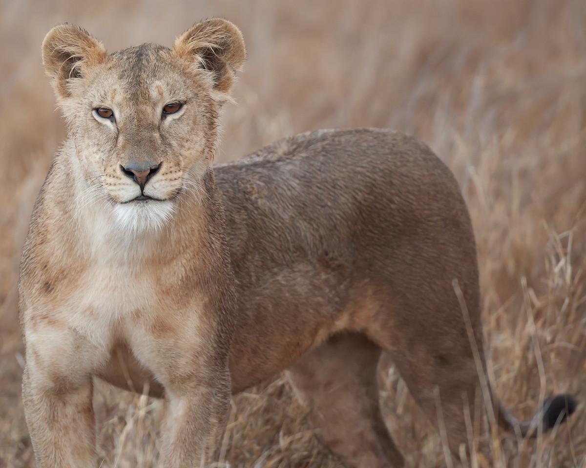 Lion, Lewa Wilderness, Kenya