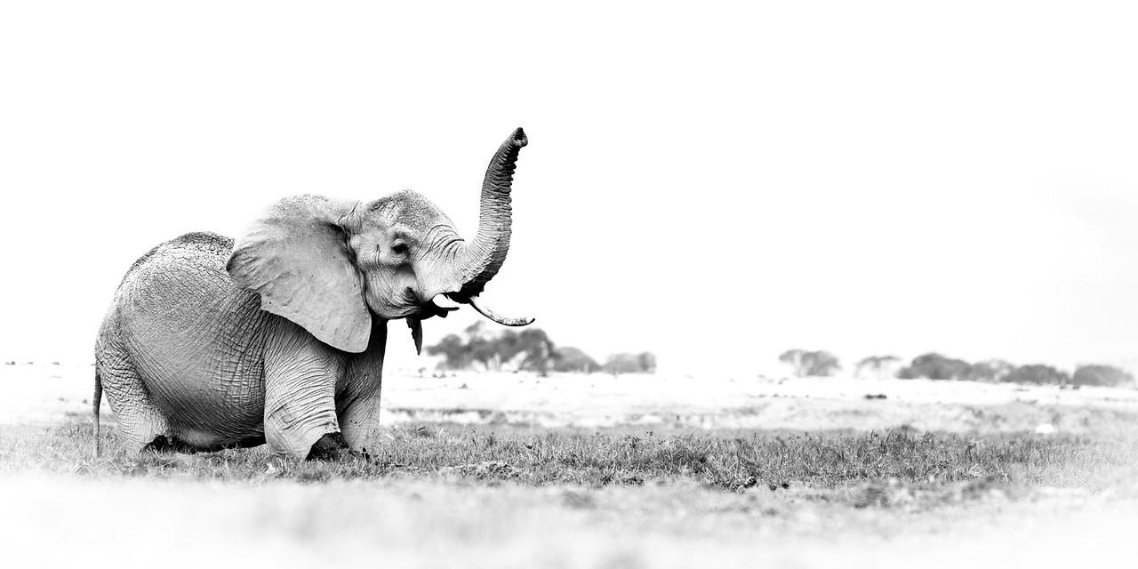 Elephant at Amboselli