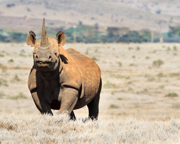 Rhino at Lewa with passenger.