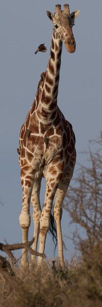 Giraffe and friend, Lewa.