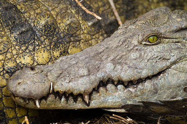 Nile Crocodile, Katavi NP, Tanzania