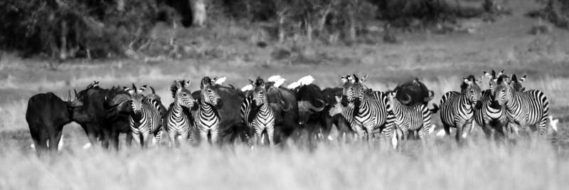 Buffalo and zebra and herons.
