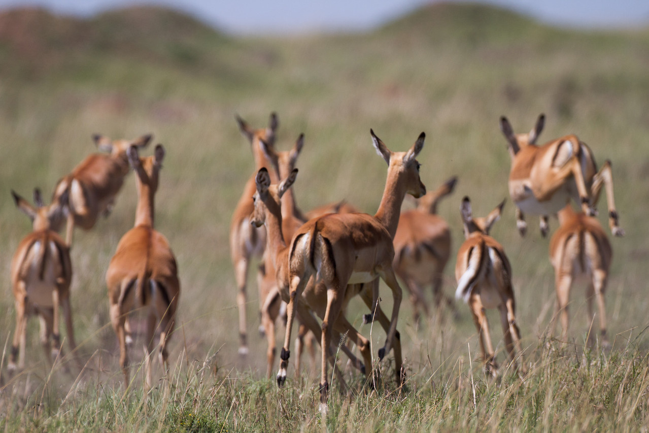 Impalas, they are extremely fast and very skittish.