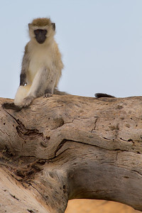 Black-faced monkey - these guys are fun, and everywhere!