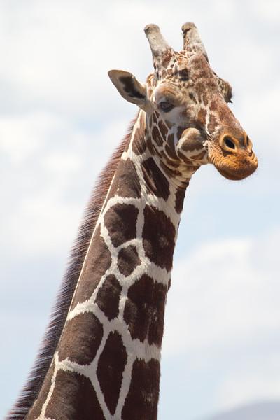 Giraffe at Lewa.