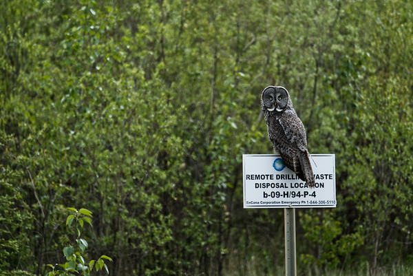 Great Grey Owl along quiet Komie Road.