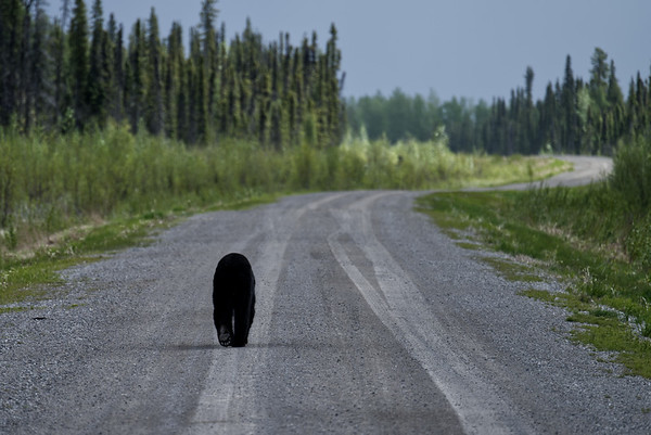 Black Bear sauntering along inactive access road.