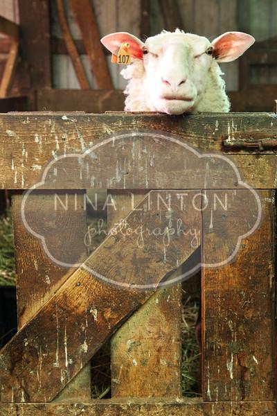 Bi-weekly Sheep Project 2012