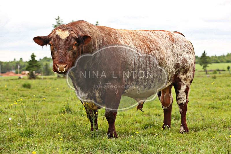 Maritime Shorthorn Association Meeting and Field Day 2012
