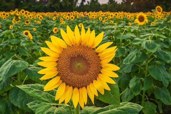 Field of Sunflowers at dusk - Alabama