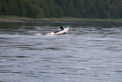 Orca before the splash! 9:17 pm.