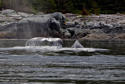 Humpbacks in the shallows.