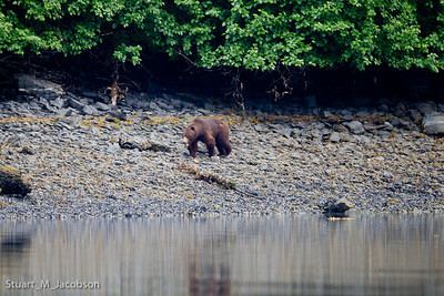 This is a brown bear as seen from our anchored boat just before we saw a moose appear off to our left.