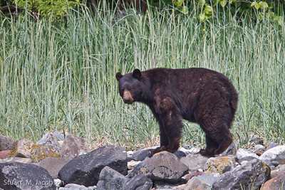 Black bear on Strawberry Island.