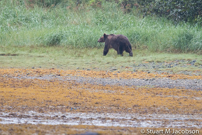 Brown bear near Darrell's spot""