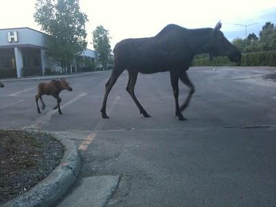 Moose leading kids across road