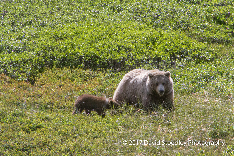 Grizzly Mom & Cubs (3 of 5)