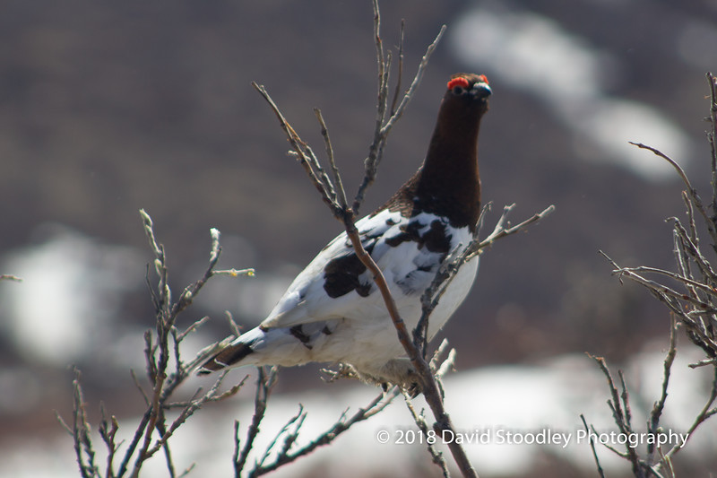 Ptarmigan in Sable Pass