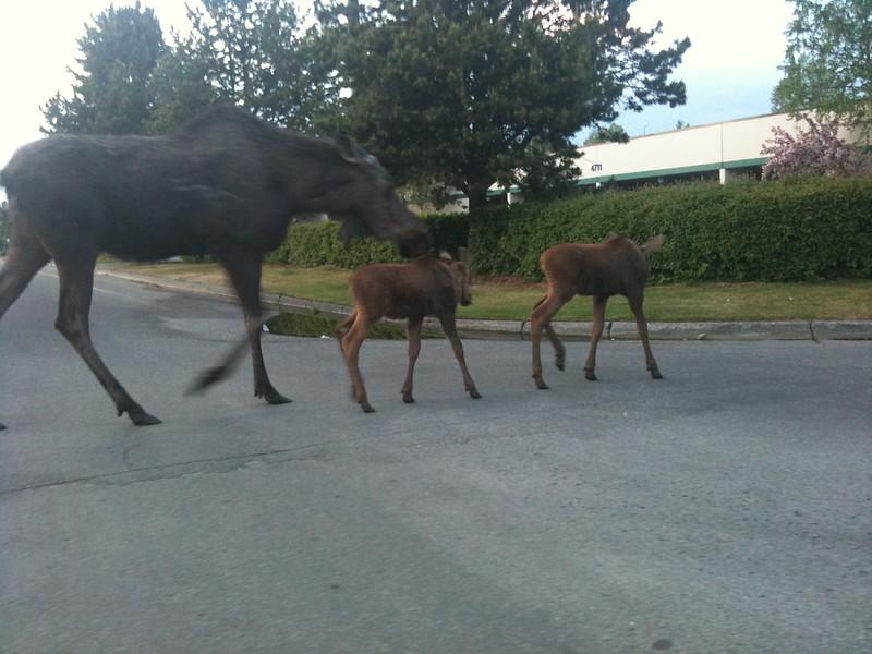 Moose herding kids across road