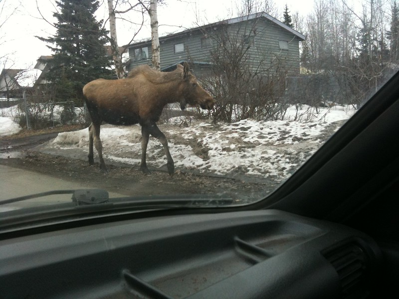 Moose...Anchorage, Alaska