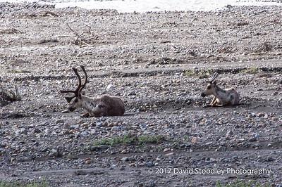 Caribou Couple