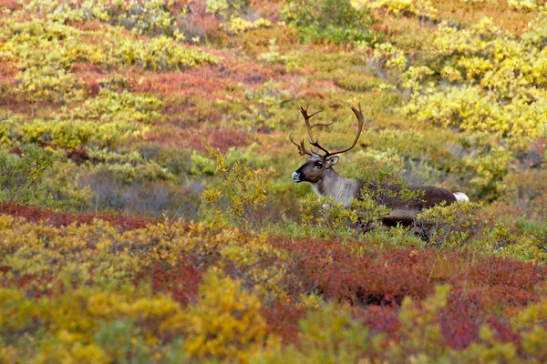 Caribou in Fall Colors