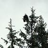 Bald eagle atop evergreen tree