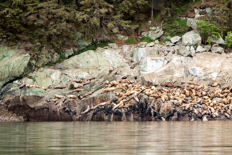 Walrus herd on rocky shore