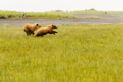 Coastal Brown Brown Bears running at Silver Salmon Creek Lodge in Lake Clark National Park Alaska