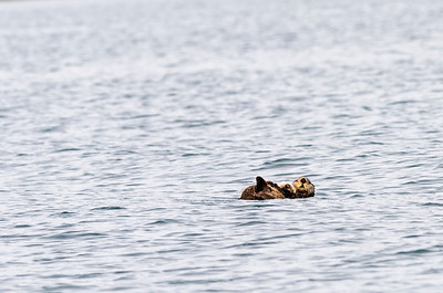 Sea Otter and baby in Prince William Sound Alaska