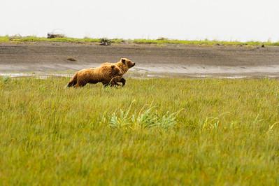 Coastal Brown Brown Bears running at Silver Salmon Creek Lodge in Lake Clark National Park Alaska