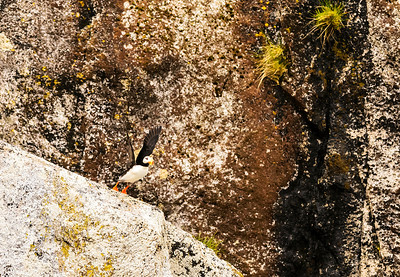 Horned Puffin taking flight in Kenai Fjords National Park