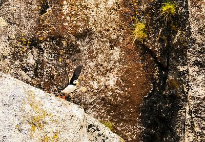 Horned Puffin taking flight in Kenai Fjords National Park