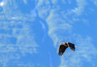 Bald Eagle in flight over Valdez Alaska harbor