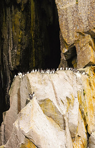 Common Murre in Kenai Fjords National Park Alaska