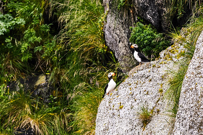 Horned Puffins in Kenai Fjords National Park
