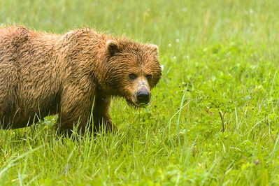 Coastal Brown Bear at Silver Salmon Creek Lodge in Lake Clark National Park Alaska