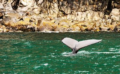Whale tail flluke in Resurrection Bay Seward Alaska