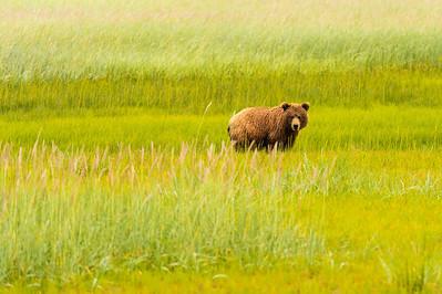 Coastal Brown Brown Bear at Silver Salmon Creek Lodge in Lake Clark National Park Alaska