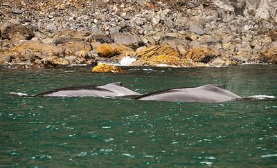 Humpback Whales in Resurrection Bay Seward Alaska