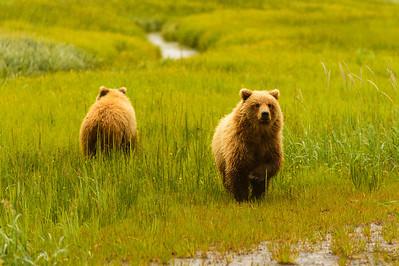 Coastal Brown Brown Bears at Silver Salmon Creek Lodge in Lake Clark National Park Alaska
